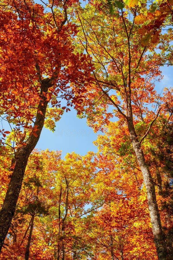 Mooi de herfstlandschap met gele bomen stock afbeeldingen