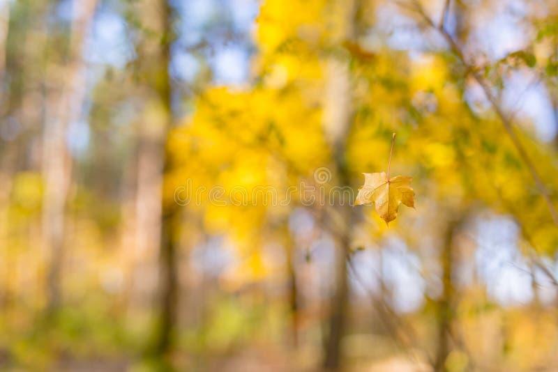 Mooi de herfstlandschap met gele bomen en zon Kleurrijk gebladerte in het park Dalende bladeren natuurlijke achtergrond stock foto's