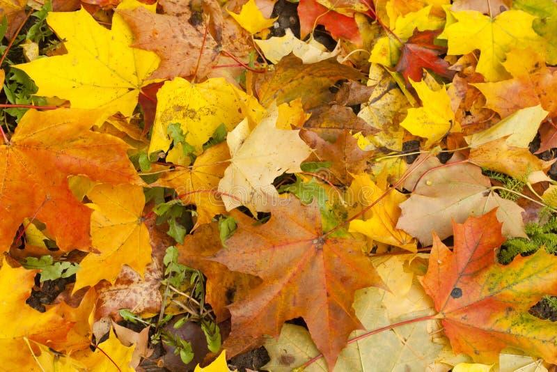 Mooi de herfstpark met gele esdoornbladeren stock foto