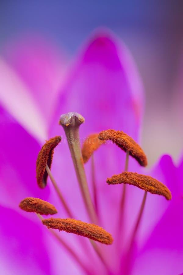 Mooi dicht omhooggaand macrobeeld van trillende kleurrijke leliebloem royalty-vrije stock foto