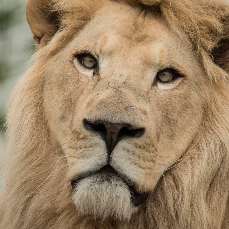 Mooi dicht omhooggaand portret van de witte Atlas Lion Panthera van Barbarije royalty-vrije stock afbeelding