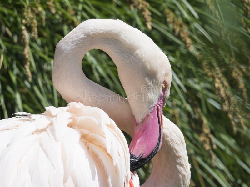 Mooi Dicht omhooggaand Portret van een Roze Flamingo grotere roseus van flamingophoenicopterus, nadruk op oog, exemplaarruimte stock fotografie