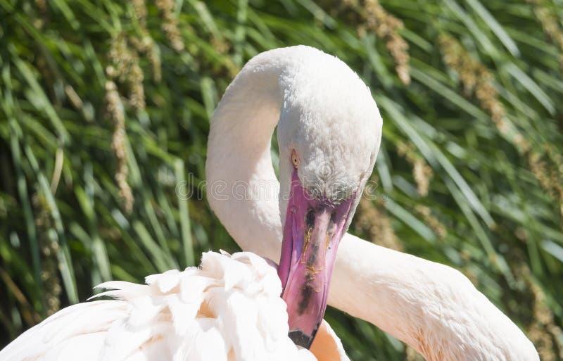 Mooi Dicht omhooggaand Portret van een Roze Flamingo grotere roseus van flamingophoenicopterus, nadruk op oog, exemplaarruimte royalty-vrije stock foto's