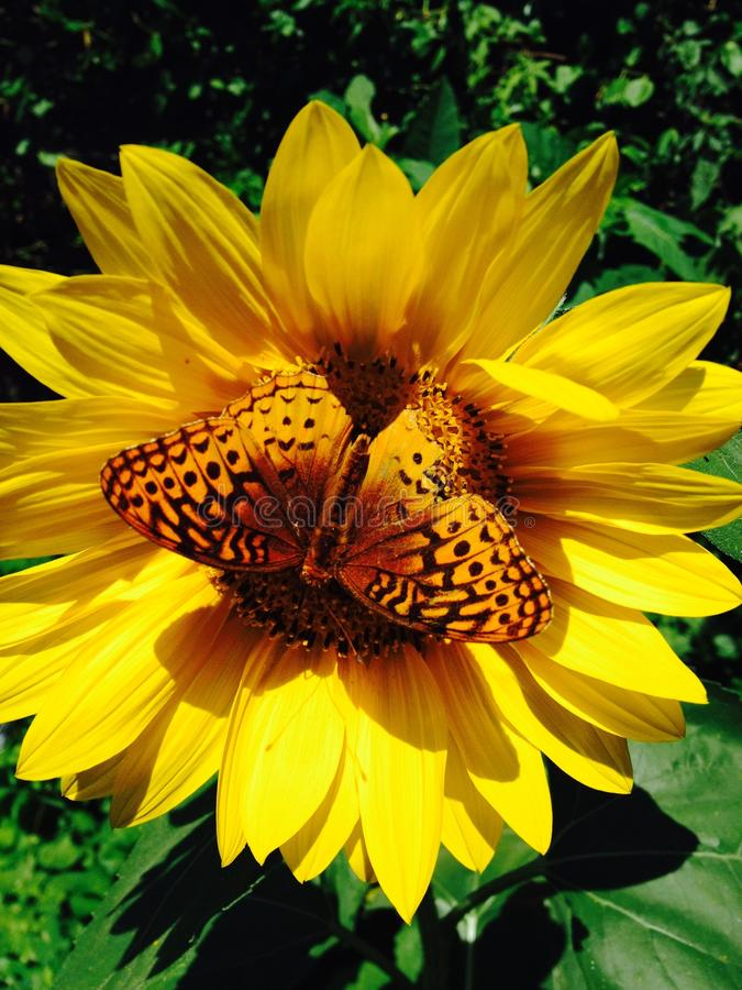 Mooi die beeld van een vlinder op een zonnebloembloem wordt neergestreken stock foto