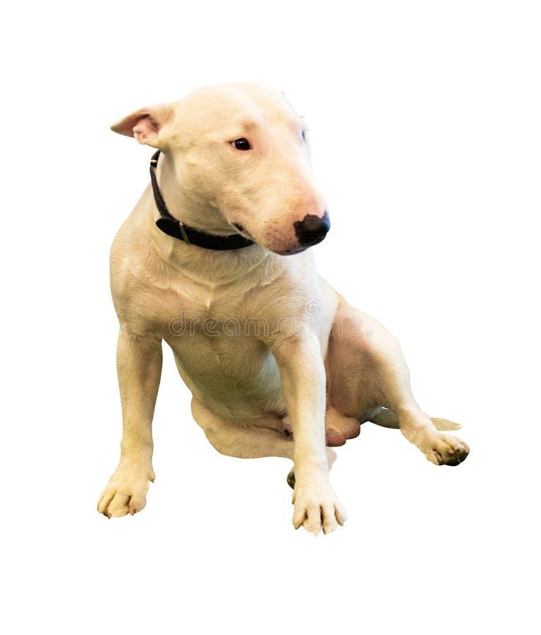 Mooi die bull terrier op een witte achtergrond wordt geïsoleerd stock foto