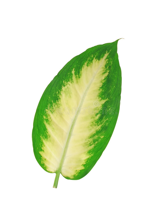 Mooi die Dieffenbachia-blad op wit wordt geïsoleerd stock foto