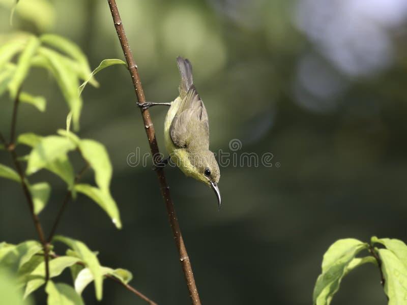 Mooi die wijfje sunbird op takken van boom wordt olijf-gesteund stock afbeeldingen