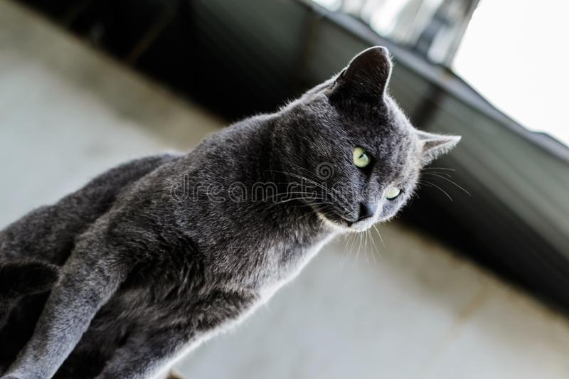 Mooi Donker Gray Street Cat Portrait royalty-vrije stock fotografie