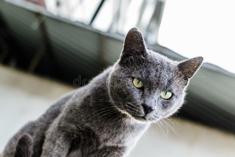Mooi Donker Gray Street Cat Portrait stock foto