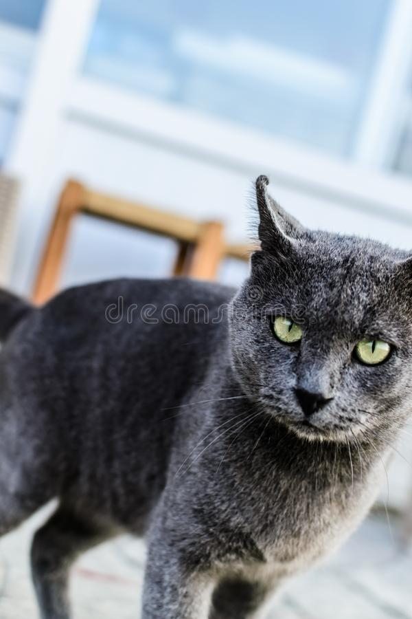 Mooi Donker Gray Street Cat Portrait stock afbeelding