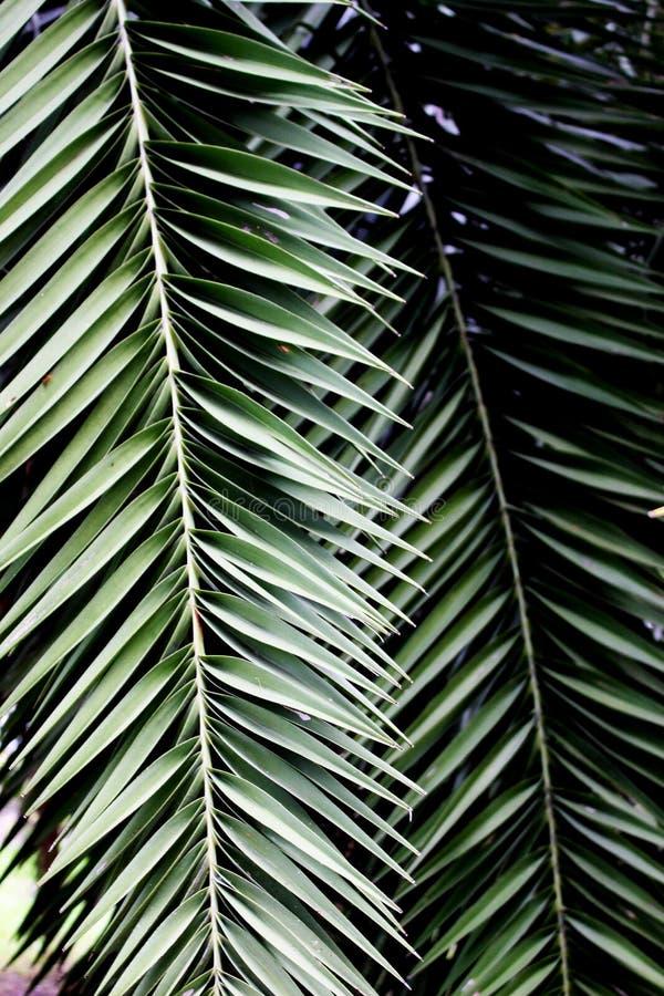 Mooi Donker kleuren Groen Blad van Palm in Tuin stock foto's