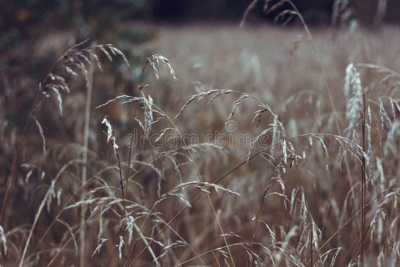 Mooi droog gras op het gebied Sluit omhoog Mooie de herfstachtergrond Gouden gras in de herfst royalty-vrije stock fotografie