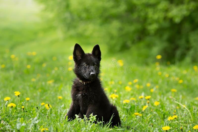 Mooi Duitse herderpuppy van zwarte kleur het zitten op royalty-vrije stock foto
