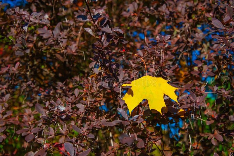 Mooi eenzaam geel esdoornblad op een achtergrond van karmozijnrode berberis De achtergronden van de herfst samenvatting die voor  royalty-vrije stock fotografie