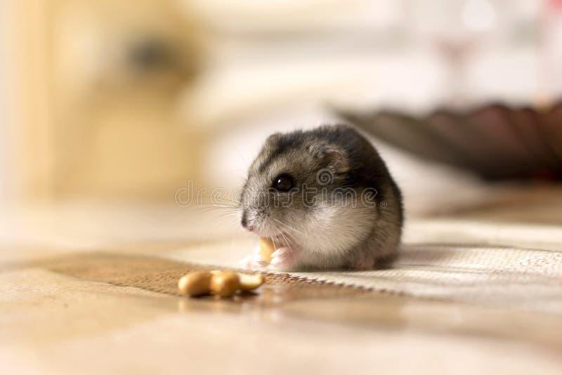 Mooi eet weinig hamsterzitting op de lijst en een noot royalty-vrije stock foto's