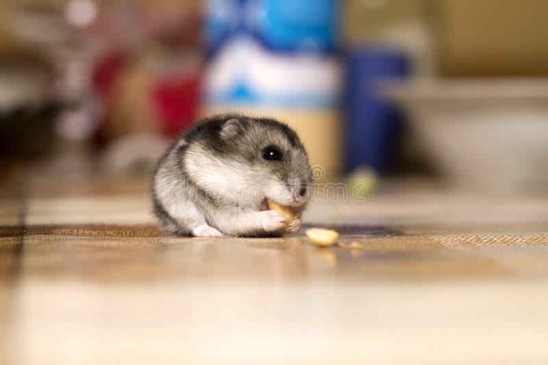 Mooi eet weinig hamsterzitting op de lijst en een noot stock afbeeldingen