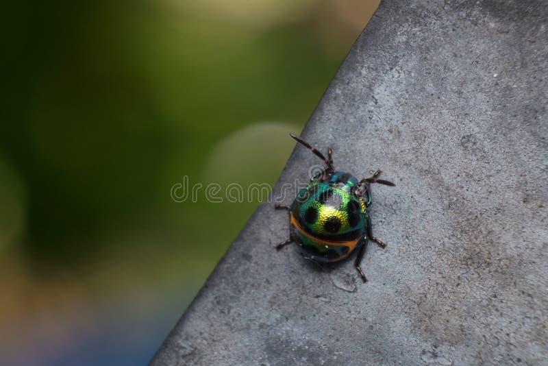 Mooi en kleurrijk lieveheersbeestje stock fotografie