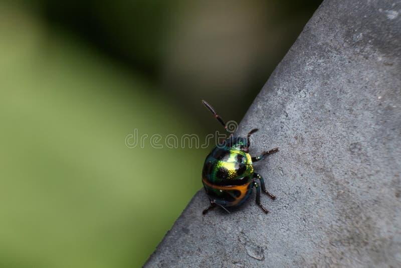 Mooi en kleurrijk lieveheersbeestje stock afbeeldingen