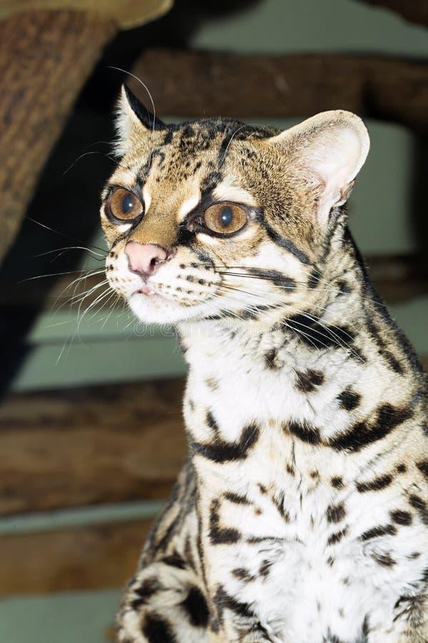 Mooi en zeldzaam, Margay, Leopardus-wiedii stock afbeelding