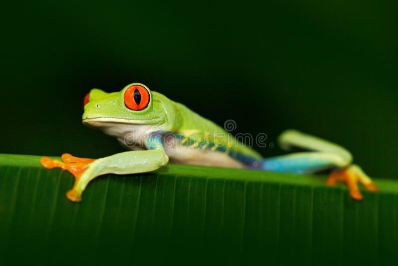 Mooi exotisch dier van Midden-Amerika Rood-eyed Boomkikker, Agalychnis-callidryas, dier met grote rode ogen, in de aard h stock fotografie
