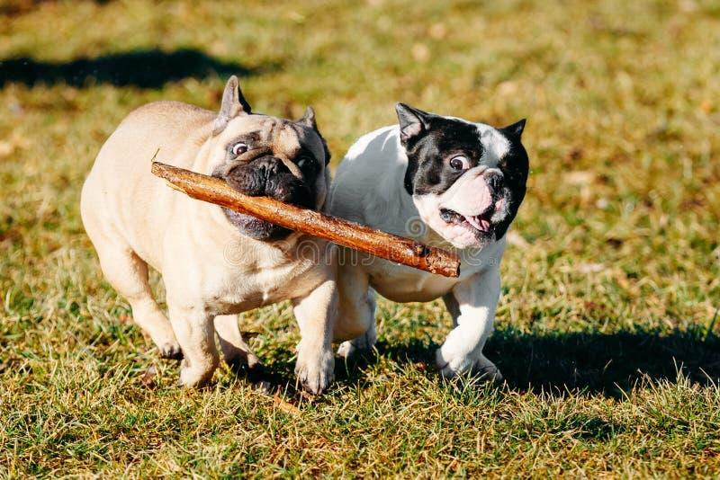 Mooi Frans van het de Hondjong van het Buldogpuppy het Puppyjong stock afbeelding