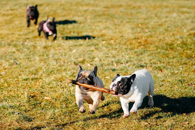 Mooi Frans van het de Hondjong van het Buldogpuppy het Puppyjong stock fotografie