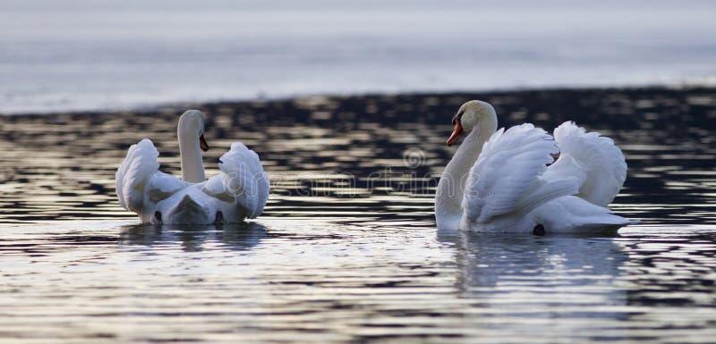Mooi geïsoleerd beeld met twee zwanen in het meer op zonsondergang stock foto's