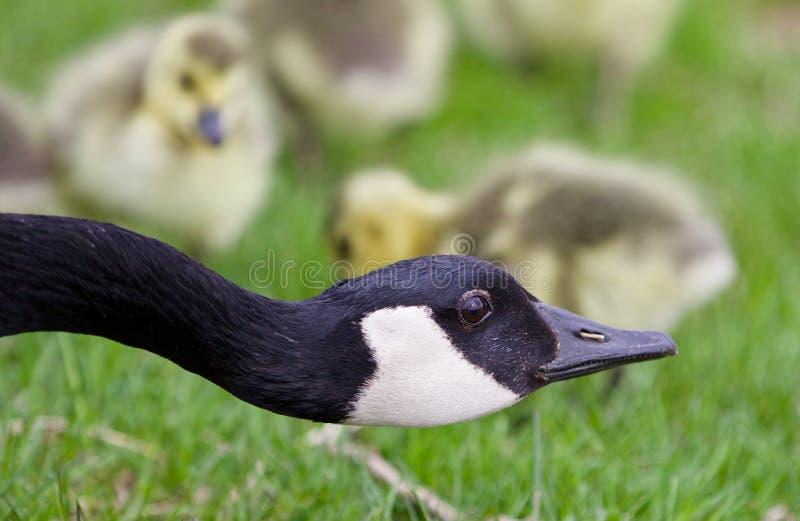 Mooi geïsoleerd beeld van jonge kuikens van de ganzen van Canada onder het mom van hun mamma stock fotografie