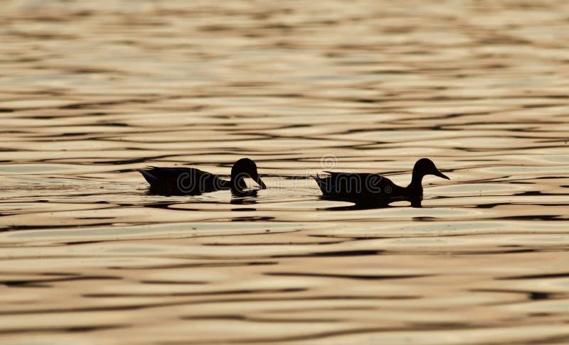 Mooi geïsoleerd beeld van twee eenden in een meer op de zonsondergang stock fotografie