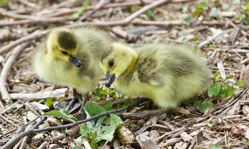 Mooi geïsoleerd beeld van twee leuke grappige kuikens van de ganzen van Canada stock fotografie