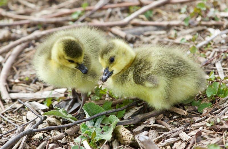 Mooi geïsoleerd beeld van twee leuke grappige kuikens van de ganzen van Canada royalty-vrije stock afbeeldingen