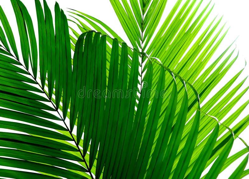 Mooi geïsoleerdd palmblad stock fotografie
