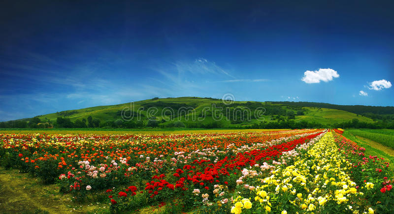 Mooi gebiedshoogtepunt van rozen - panorama stock fotografie