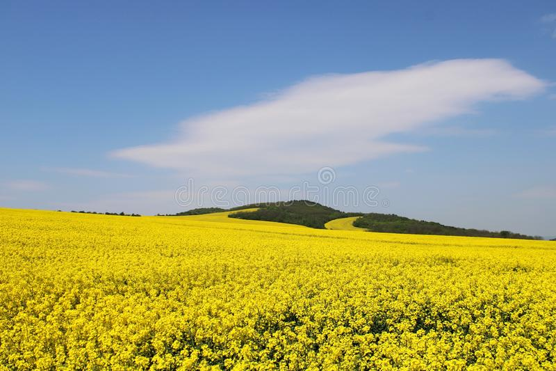 Mooi, geel koolzaad-gebied royalty-vrije stock foto