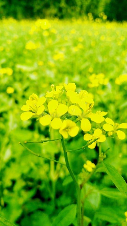 Mooi geel mosterdgebied en kleurrijke glanzende dag royalty-vrije stock foto