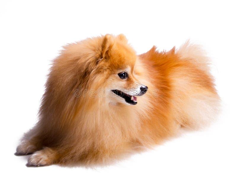 Mooi, gelukkig, ontspannen en gedroeg goed zich neer de gouden die Pomeranian-zitting van de puppyhond, op witte achtergrond word stock fotografie