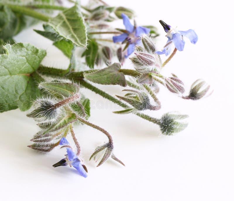 Mooi geneeskrachtig kruid met eetbare blauwe bloemen Boragoofficinalis Geïsoleerdj op witte achtergrond Gekende Boragoofficinalis royalty-vrije stock afbeeldingen