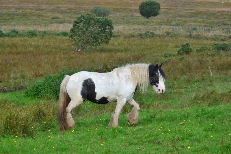 Mooi gevlekt paard in Ierland stock afbeeldingen