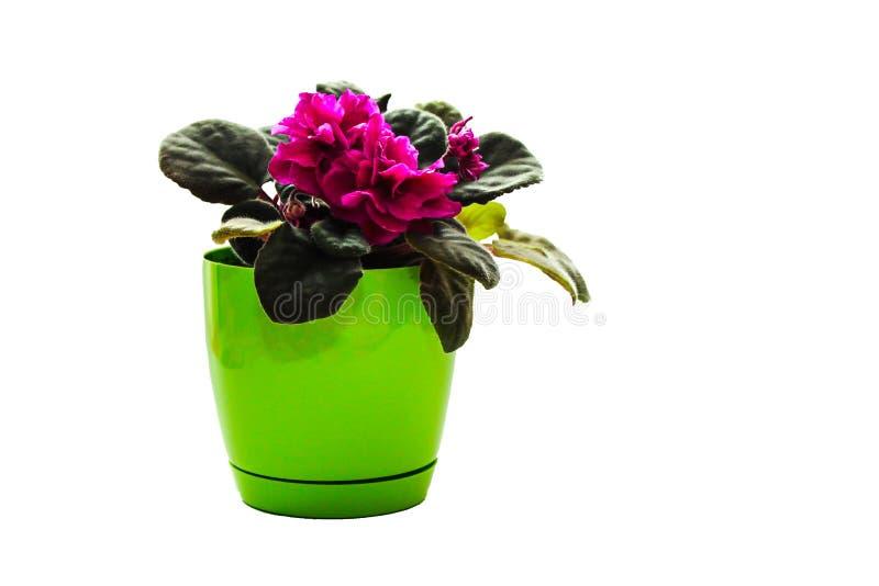 Mooi, gevoelig viooltje met lilac bloemen in een heldergroene die pot op witte achtergrond wordt geïsoleerd royalty-vrije stock afbeelding