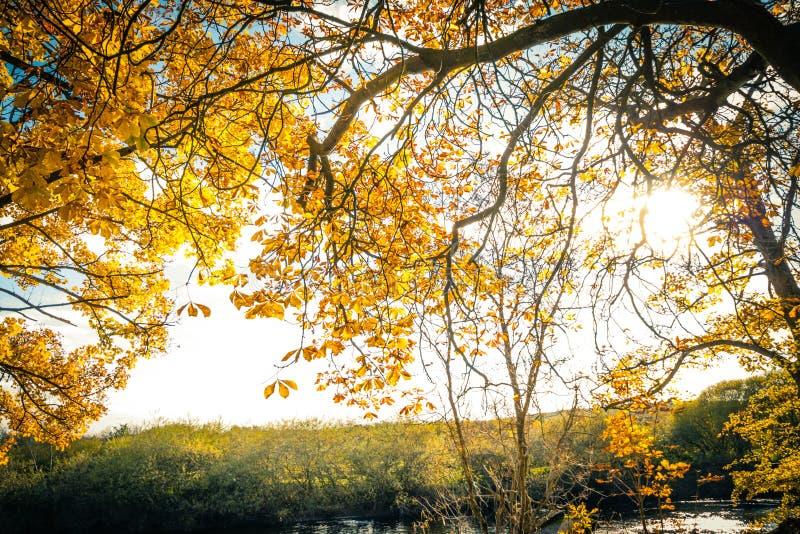 Mooi, gouden de herfstlandschap met bomen en gouden bladeren in de zonneschijn royalty-vrije stock foto