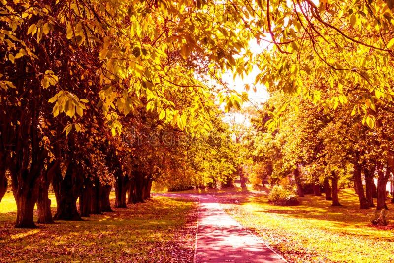 Mooi, gouden de herfstlandschap met bomen en gouden bladeren in de zonneschijn in Schotland royalty-vrije stock fotografie
