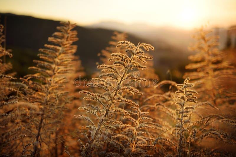 Mooi gras in een weide bij zonsondergang stock afbeelding