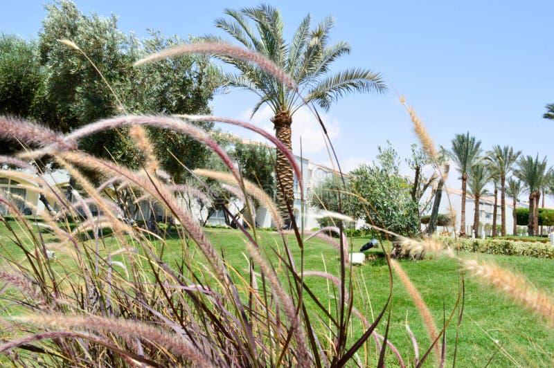 Mooi gras met aartjes waardoor de palmen met bladeren in een tropische toevlucht tegen een blauwe hemel en een groene gra worden  royalty-vrije stock foto