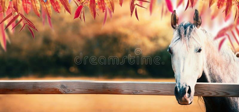 Mooi grijs paardhoofd bij paddockomheining bij de achtergrond van de de herfstaard met kleurrijk dalingsgebladerte stock fotografie