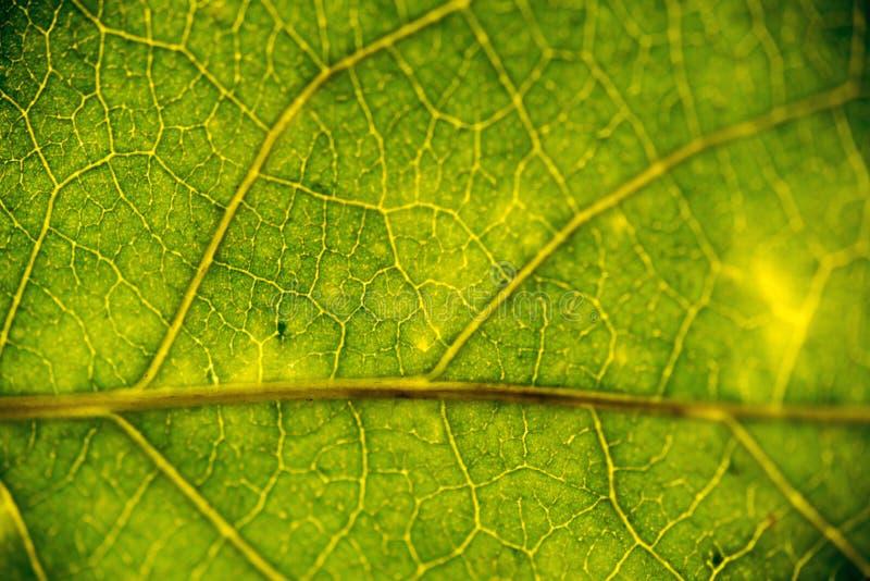 Mooi groen blad met aders stock afbeeldingen
