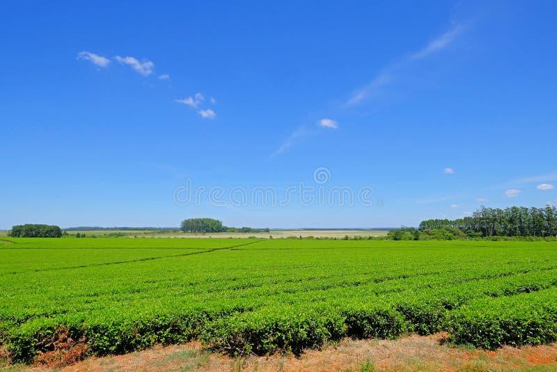 Mooi groen de aanplantingsgebied van de Partnerthee in provincie Misiones, Argentinië royalty-vrije stock foto's