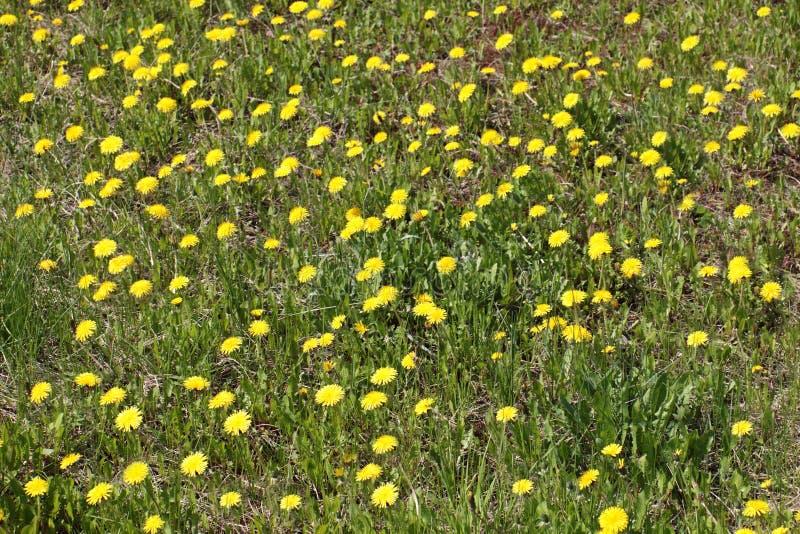 Mooi groen gebied met partij van gele paardebloemen royalty-vrije stock foto