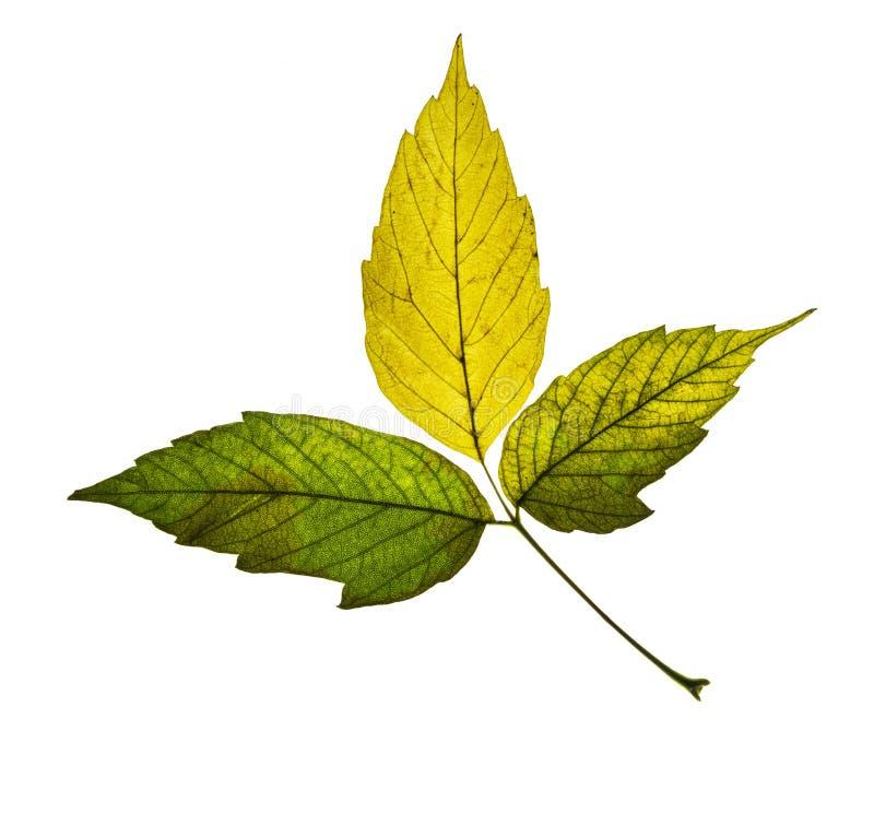 Mooi groen geel die de herfstblad op witte achtergrond wordt geïsoleerd stock afbeeldingen
