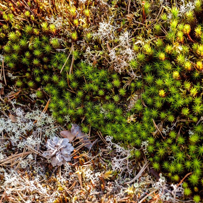 Mooi groen mos en korstmos in het pijnboombos royalty-vrije stock afbeelding