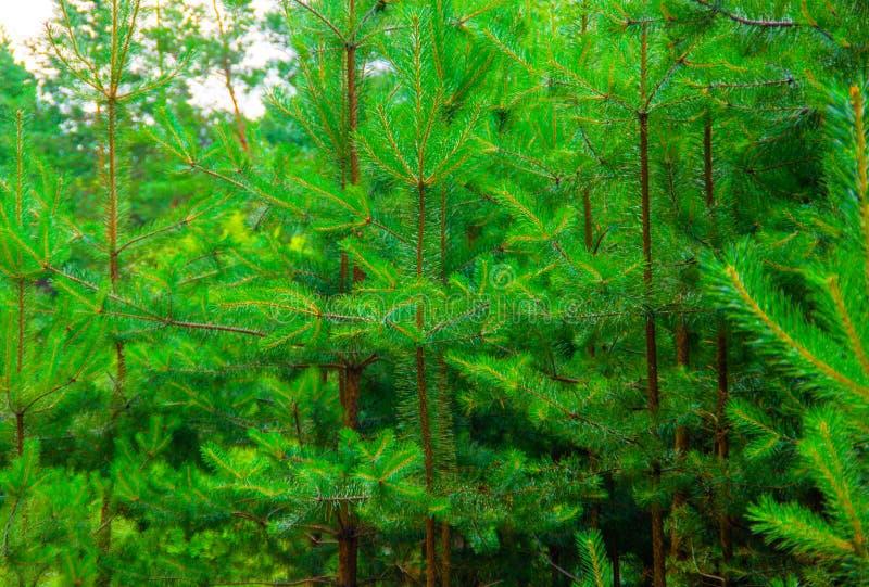 Mooi groen pijnboombos stock afbeeldingen
